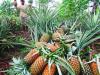Dinas Pertanian Kotamobagu Bakal Mengolah Nenas Organik hingga Ekspor ke Luar Negeri